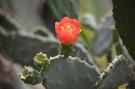 Cactus inflorit 01
