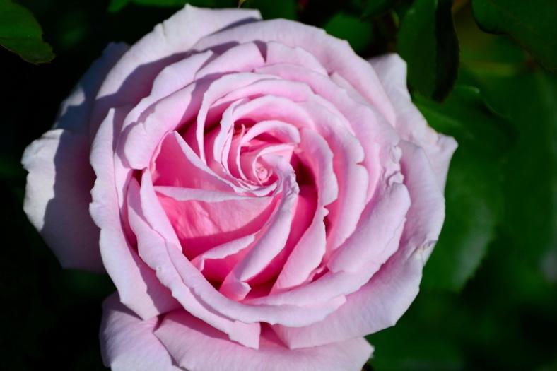 Parfum de trandafiri 07